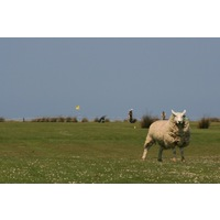 Golfers share holes with sheep on many of the holes at Royal North Devon Golf Club.